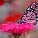 Pink-butterfly-wallpaper-150x150