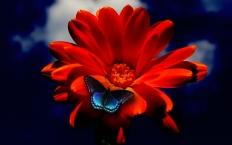 Butterfly-On-Red-Flower-HD-Wallpaper-1