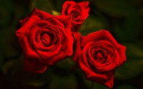 Red-roses-12