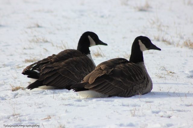 Canada Geese 009