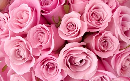Light-pink-roses-can-mean-admiration-sympathy-gentleness-grace-gladness-joy-sweetness