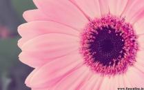 gerbera-daisy-wallpaper-for-widescreen
