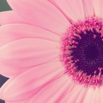 gerbera-daisy-wallpaper-for-widescreen
