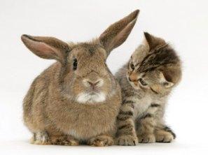 burton-jane-british-shorthair-brown-tabby-female-kitten-looking-inquisitivly-at-young-agouti-rabbit