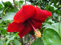 Dark_Red_Hibiscus_Flower_Wallpaper_lxvvj